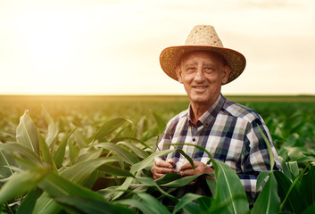 Senior farmer standing in corn field examining crop at sunset.