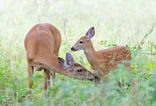 White-tailed deer fawn and doe share a tender moment in the forest in Ottawa, Canada