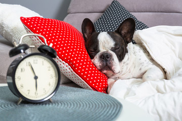 French bulldog sleeping in the bed with alarm clock