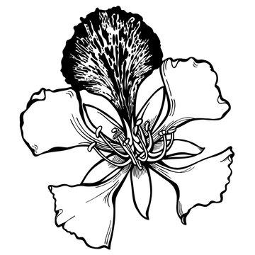 Hand drawn poinciana floral Vector Illustration