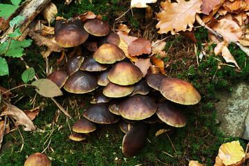 Herbst Pilze im Moos