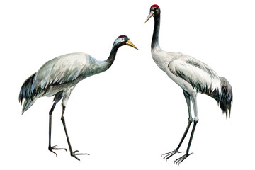 set of beautiful birds crane on isolated white background, watercolor illustration