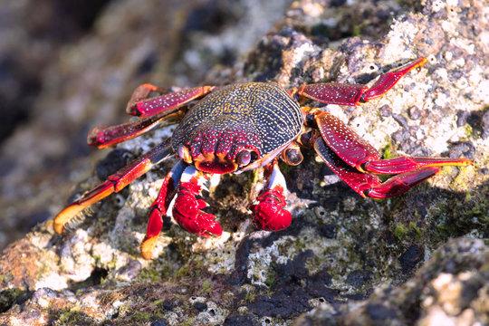 Rote Klippenkrabbe auf den Azoren / Portugal