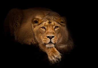 Lioness in the night. lioness beautiful big cat imposingly lies Wall mural