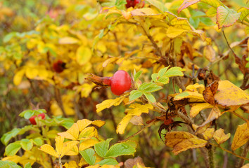 Colorful rosehip bush with red fruit in autumn