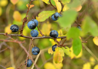 Sloe berries on a sloe bush in autumn close up detail