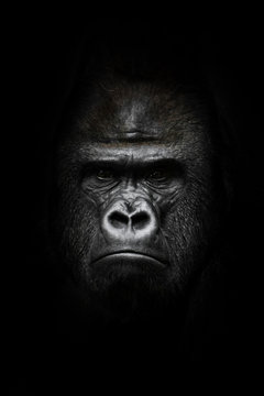 face  in the dark. Portrait of a powerful dominant male gorilla , stern face. isolated black background.