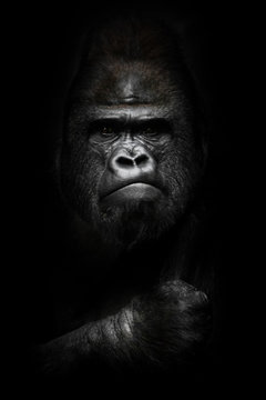 face and powerful hand in the dark. Portrait of a powerful dominant male gorilla , stern face and powerful arm. isolated black background.