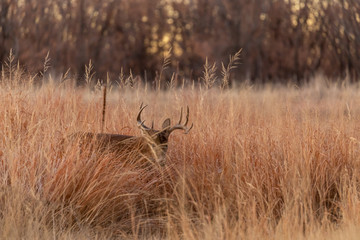 Poster Hert Whitetail Buck in Tall Grass in Autumn