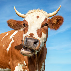 Funny portrait of a mooing cow, with open mouth and large horns.
