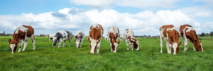 Wall Murals Meadow Herd of cows graze in a field, oncoming walking towards the viewer, and a beautiful sky.