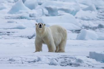 Fond de hotte en verre imprimé Ours Blanc Polar Bear (Ursus maritimus) Spitsbergen North Ocean