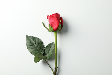 Foto op Aluminium Roses Beautiful red rose with green leaves on white background, space for text