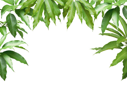 Fresh Mango Green Leaves Isolated on White Background with Clipping Path
