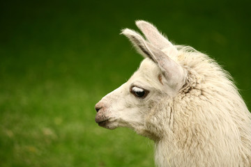 White, sad furry lama glama with long eyelashes on a fresh green summer grass. Close up portrait from zoo