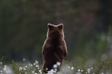 brown bear cub standing with its back