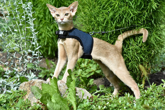 Young Abyssinian cat color Faun with a leash walking around the yard. Pets walking outdoors, adventures n the Park.