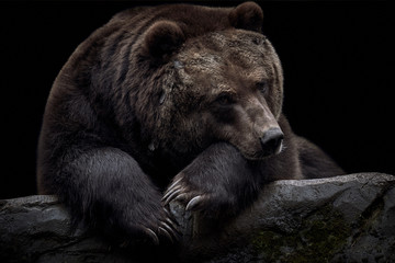 One brown Kamchatka bear (Ursus arctos beringianus) lies on a rock in front of isolated black background