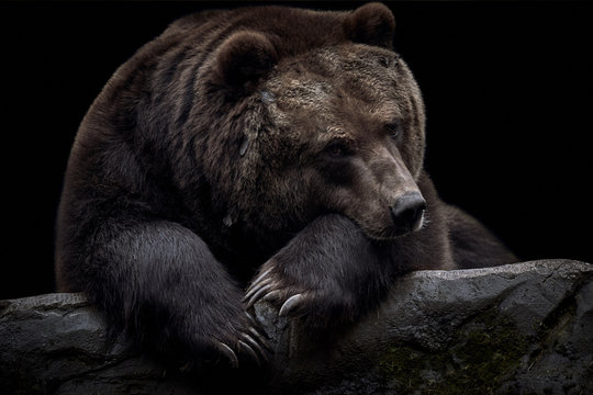 Close-up of a brown Kamchatka bear (Ursus arctos beringianus) lying on a rock and isolated on a dark black background