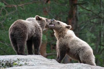 Brown bears playing at zoo