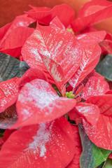 poinsettia recouverte de paillette argent pour centre de table et décoration de la maison à Noël - plante pour les fêtes de fin d'année