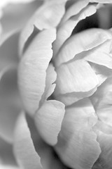 Beautiful pale pink Peonie flowers on white background