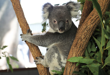 Deurstickers Koala cute cuddly koala bears in gumtree in queensland, australia