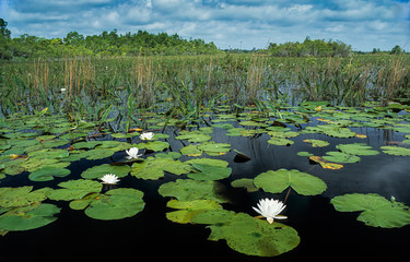 Wall Murals Water lilies Fragrant water lilies (Nymphaea odorata) in Okefenokee Swamp National Wildlife Refuge in southeast Georgia, U.S.A.
