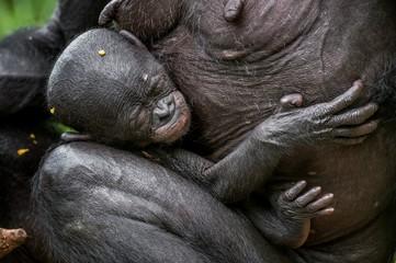 The sleeping cub  chimpanzee  Bonobo on a breast of the nursing Mother. natural habitat. The Bonobo ( Pan paniscus), called the pygmy chimpanzee. Democratic Republic of Congo. Africa