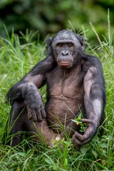Bonobo on the Green natural background in natural habitat. The Bonobo ( Pan paniscus), called the pygmy chimpanzee. Democratic Republic of Congo. Africa