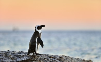 The African penguin (Spheniscus demersus). South Africa