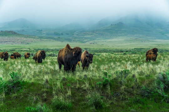 Bison grazing in the misty grassy field in Antelope Island State Park, near Salt Lake City, Utah, USA.