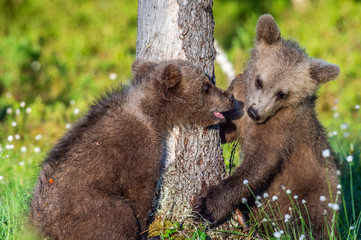 Brown Bear Cubs playfully fighting, Scientific name: Ursus Arctos Arctos. Summer green forest background. Natural habitat.