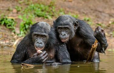Bonobo in the water. The Bonobo ( Pan paniscus), called the pygmy chimpanzee. Democratic Republic of Congo. Africa
