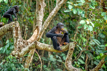 Bonobo on the branch of the tree in natural habitat. Green natural background. The Bonobo ( Pan paniscus), called the pygmy chimpanzee. Democratic Republic of Congo. Africa