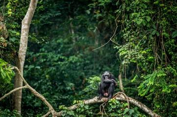 Fotorolgordijn Aap Bonobo on the branch of the tree in natural habitat. Green natural background. The Bonobo ( Pan paniscus), called the pygmy chimpanzee. Democratic Republic of Congo. Africa