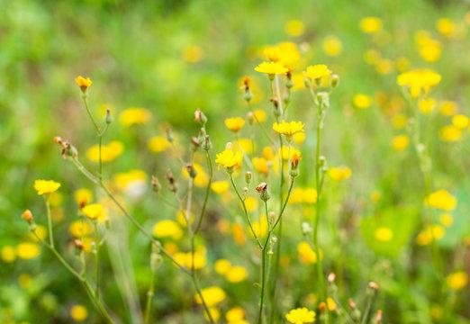 Yellow wildflowers (Hypochaeris radicata)