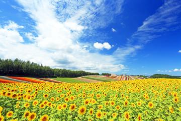Poster de jardin Tournesol 満開のひまわり畑 北海道美瑛
