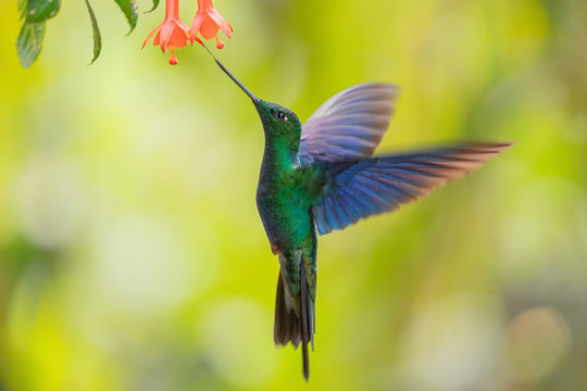 Great Sapphirewing - Pterophanes cyanopterus, beautiful large hummingbird with blue wings from Andean slopes of South America, Yanacocha, Ecuador.