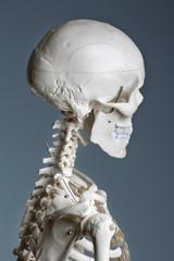 lebensechtes menschliches Skelettmodell aus Kunststoff, für Medizinstudium oder physiotherapeutische Ausbildung
