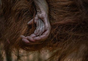 A hand of a newly born orangutan infant of a critically endangered Sumatran species is seen at a zoo in Chester