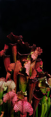 Beautiful carnivorous red and green pitcher plants Exotic flower