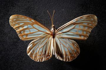Butterfly specimen