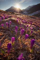 Foto op Aluminium Cappuccino Spring in Tatry Mountains in Poland. Crocuses in meadows and snow in mountains.