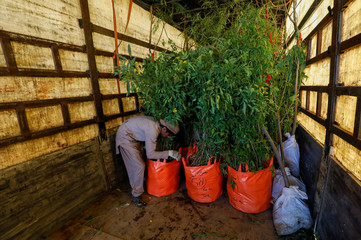 A boy arranges bags of trees and plants to be transport for plantation along the pilgrimage rout between Iraq's Shi'ite Muslim holy city of Najaf to Karbala, on a truck at a farm on the outskirts of Karachi,