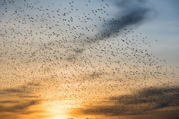 Schwarm von Zugvögeln im herbstlichen Sonnuntergang
