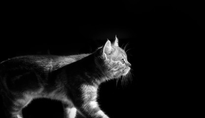 black and white photo of a kitten walking towards a light
