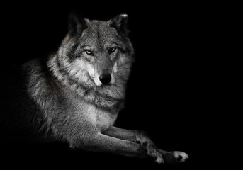 Evaluating look. wolf female lies beautifully on the ground, imposingly lies. Powerful graceful animal Black background discolored but yellow eyes