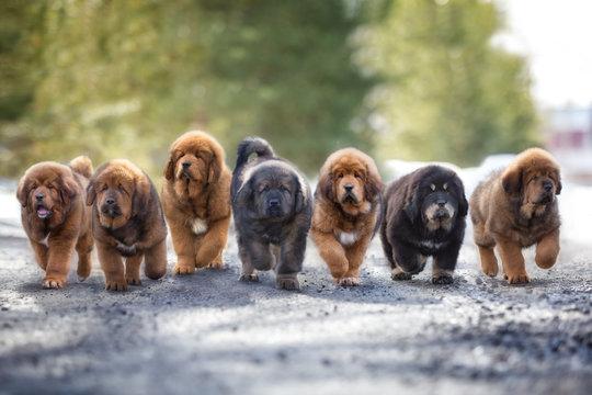 Seven Tibetan puppy puppies run along the road in winter