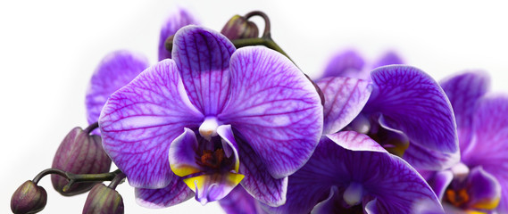 Spoed Fotobehang Orchidee Dark purple orchid isolated on white background
